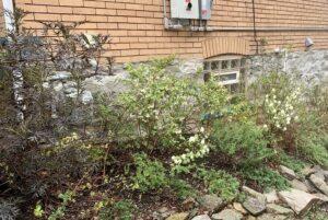 elderberry native shrubs