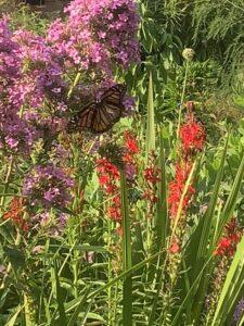 pollinators playground monarch phlox crocosmia